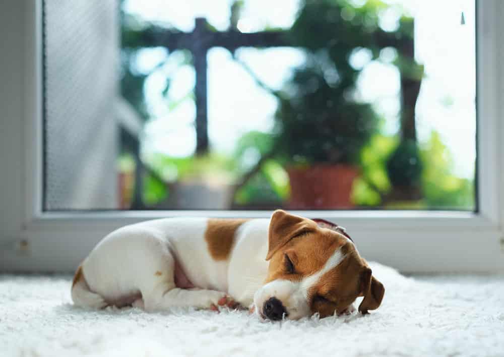 Dog sleeping on warm carpet.