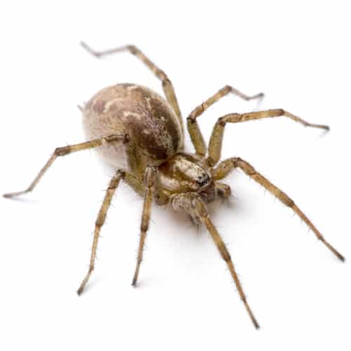 Funnel Spiders