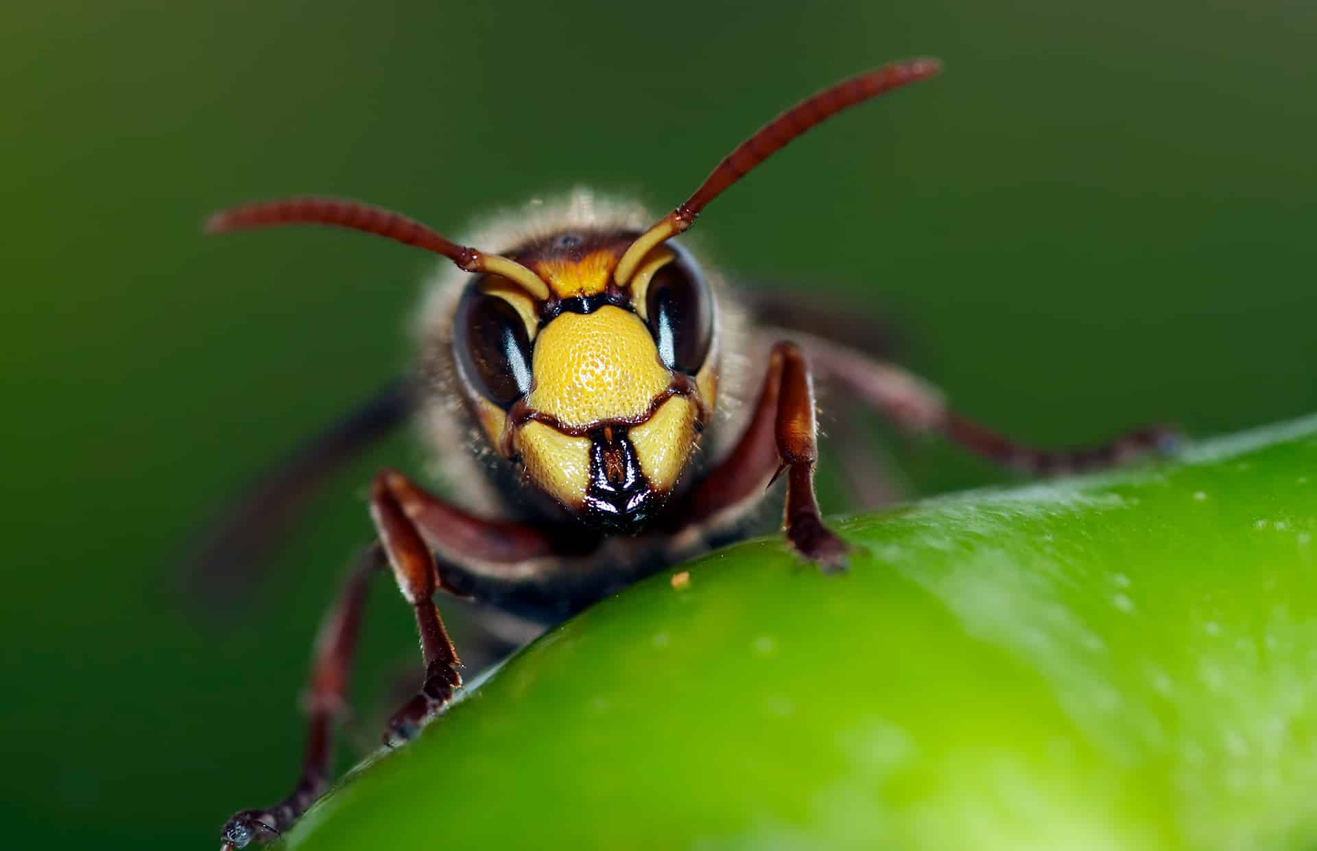 Hornet staring down camera, sitting on leaf.